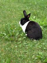 Oreo - An abandoned domestic rabbit that has been captured and now has a happy, warm home.
